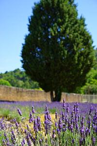 levandų auginimas, lauko, valdymo, levandų laukas, gėlės, violetinė, floros