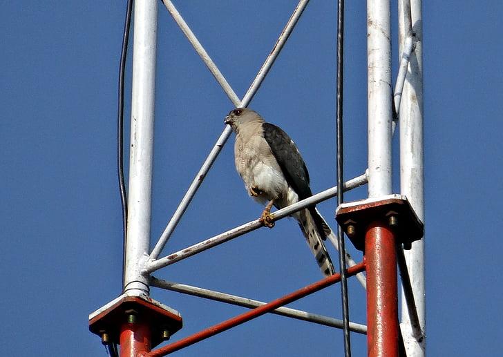 shikra, accipiter badius, bird of prey, accipitridae, little banded goshawk, bird, dharwad
