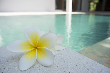 flor, Frangipani, piscina, tropical, exòtiques, Bali, aroma de