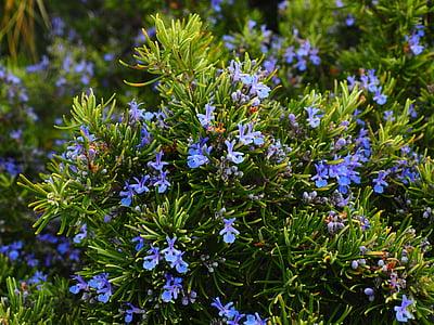 romaní, flors, blau, violeta, Rosmarinus officinalis, Rosmarinus, arbust semi