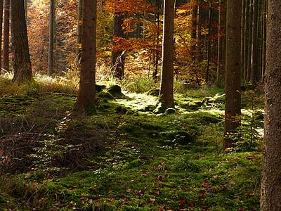 森林, 秋天, 金色的秋天, 秋天的落叶, 秋天的树林, 树木, 青苔