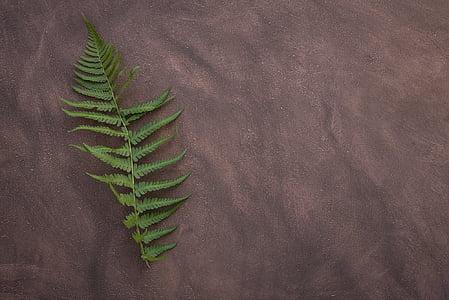 Fern, blad fern, plant, groen, blad, Filigraan, Fern blad
