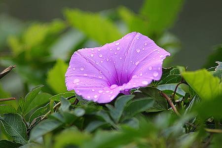 květ, svlačec, květinové, závod, přírodní, květ, Bloom