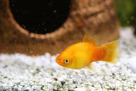fish, perch, aquarium, freshwater fish, water, toy, animals
