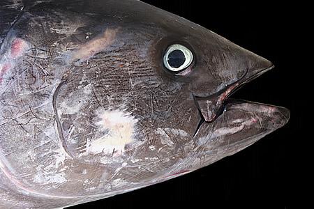 tuna, red tuna, fish, sea, fishermen, seafood, animal