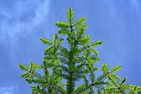 tannenzweig, branch, fir, spruce, green, spring, needles