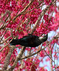 bird, blossoms, tui, flower, spring, pink, seasonal