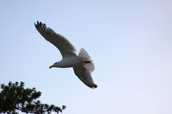 martı, martı, uçan martı, uçan martı, Uçan Kuş, Kuş Uçuş, flgiht