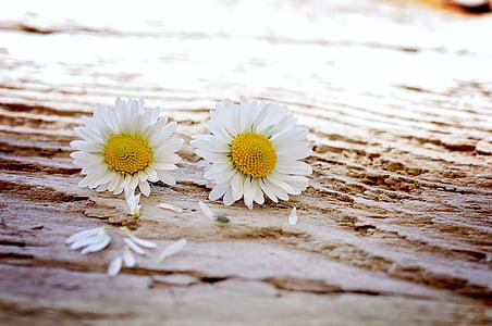 데이지, 꽃, 야생화, 나무, 쌍, 닫기, 꽃