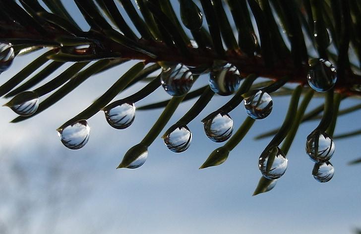 dråbe vand, drop, Fir, juletræ, Fir needle