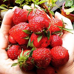 maduixes, fruita, vermell, dolç, aliments, hivernacle, Hort