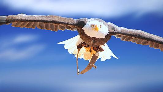 Adler, valkoinen pää eagle, eläinten muotokuva, kalju kotka, muotokuva, lintu, sulka