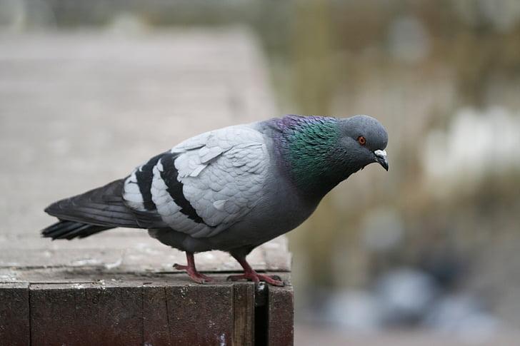 гълъб, птица, лети, животните, природата, крило, Красив
