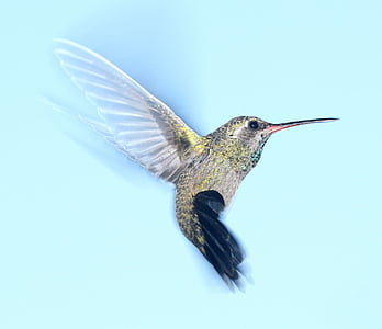 Hummingbird, flygande, porträtt, vilda djur, naturen, flyg, vingar