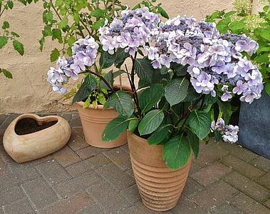 Tú cầu, Hoa, Sân vườn, thực vật, thực vật, Tú cầu nhà kính, Thiên nhiên