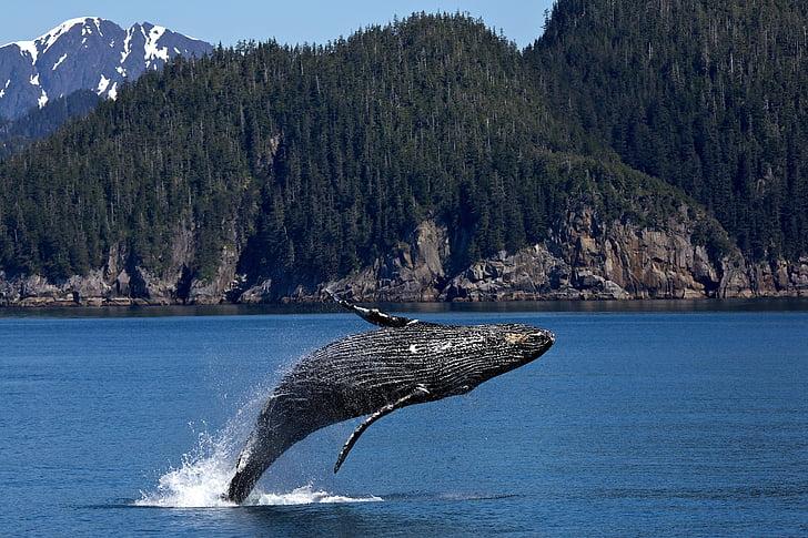 balena geperuda, saltant, violar, oceà, mamífer, Marina, esprai