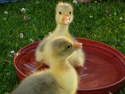Poikaset, vauva hanhet, vesilinnut, nuori, keltainen, Söpö, fluffy
