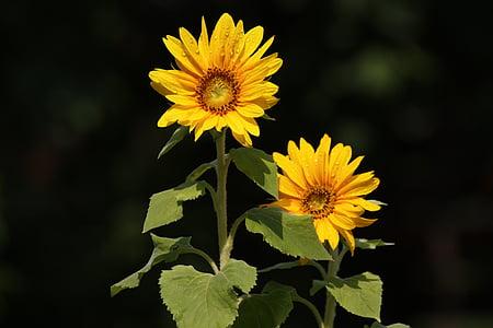 päevalill, lill, suvel, kollane, taimed