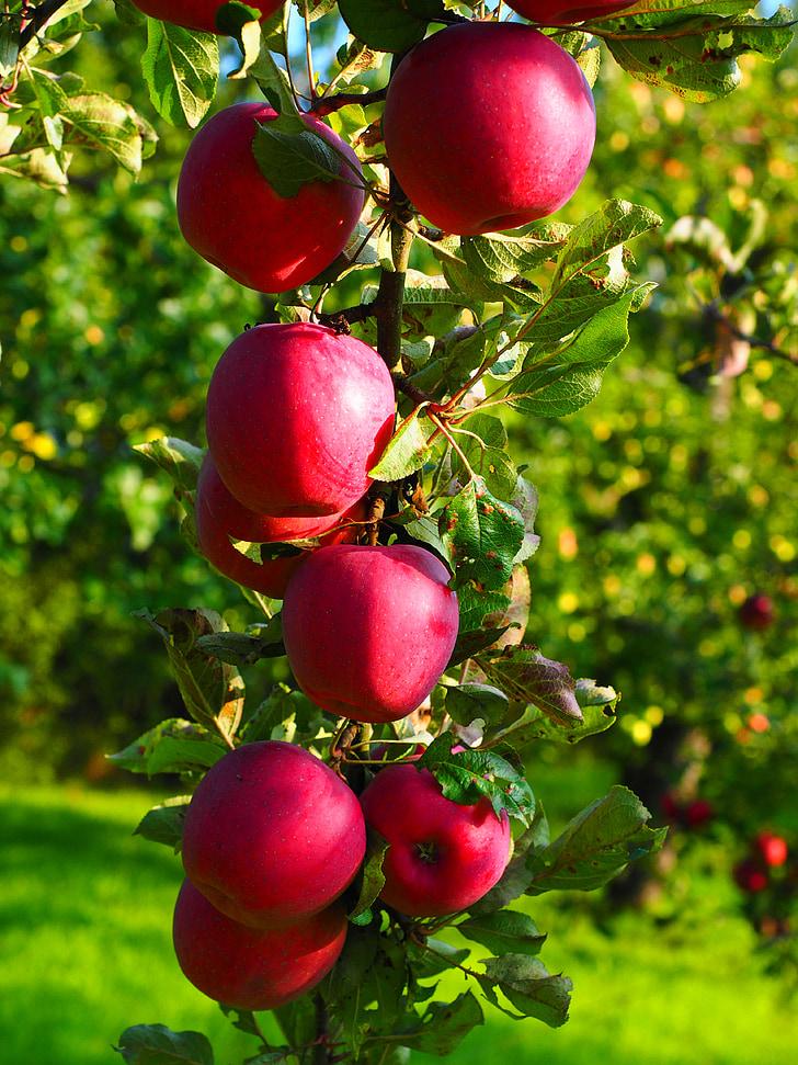 Poma, pomera, fruita, vermell, Frisch, Sa, vitamines
