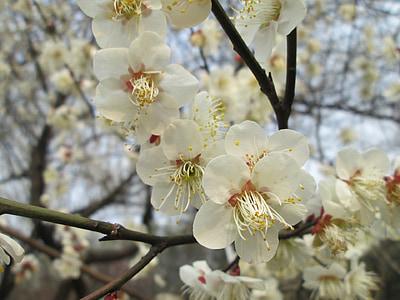 plommon trädgården, Castle peak park, Plum blossom, vit