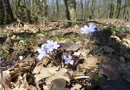gozd, pomlad, gozd cvet, narave, tla, modra, cvet