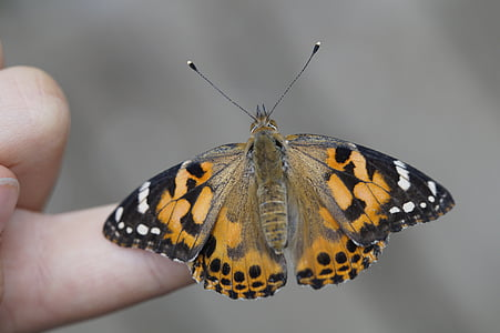 Motyl, palec, ręka, owad, Natura, wylądował, Zamknij