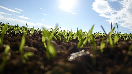 poháriky, klíčenie, Zelená, rastú, pestovanie, rast, rastliny