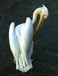 pelikan, bird, water bird, sea birds, animal, mykonos pelican, bill