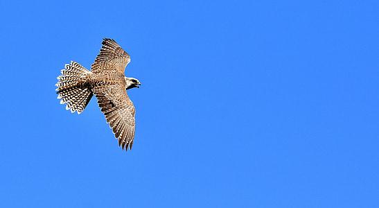 Falcon, Raptor, lintu, eläinten, lento, Luonto, petolintu