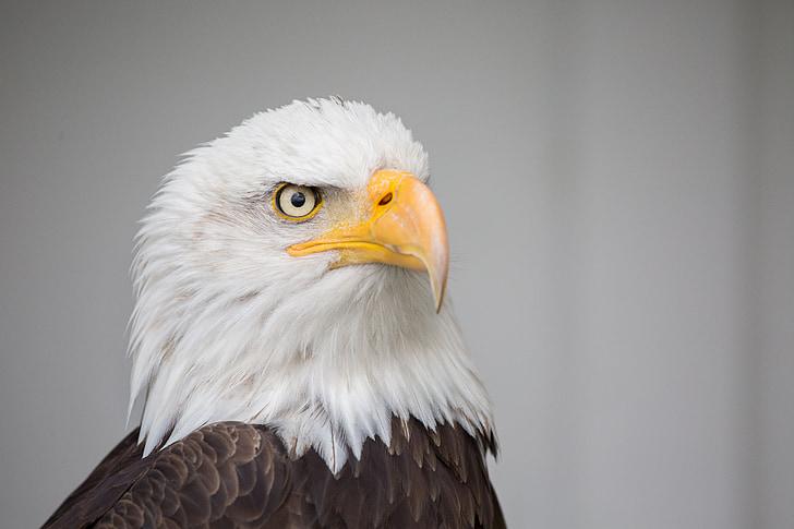 eagle, nature, wild, prey, majestic