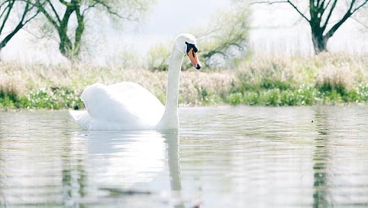 swan, nature, water bird, animal, water, swans, bird