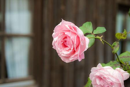 Rosa, Rosa, flor, flor, flor rosa, Roses roses, flor