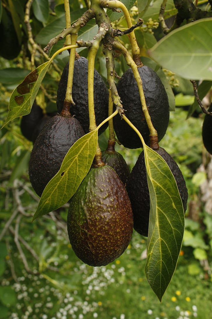 avocado, fruit, tree, natural, fruit and vegetables, ripe