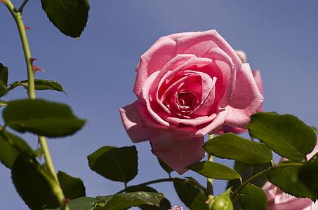 τριαντάφυλλο, Κήπος, αυξήθηκε ανθίζουν, λουλούδι, φύση, ροζ, άνθος