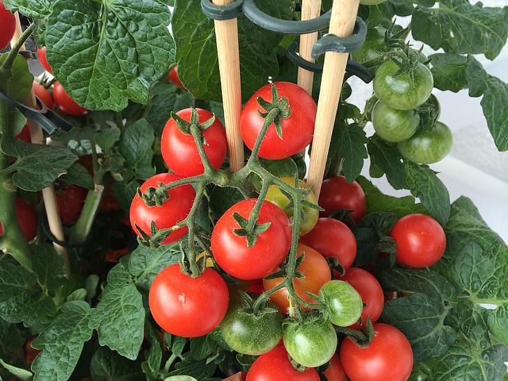 dārzenis, tomāti, tomātu augu