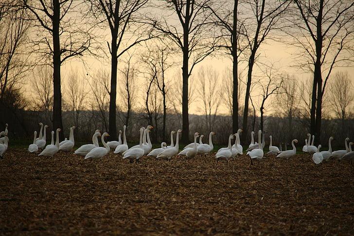 Лебедь-кликун, Лебедь, Прилетная птица, лебеди, поле, пахотные земли, пейзаж