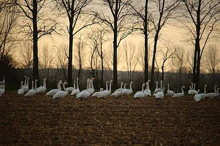 Cisne-bravo, Cisne, aves migratórias, cisnes, campo, culturas arvenses, paisagem