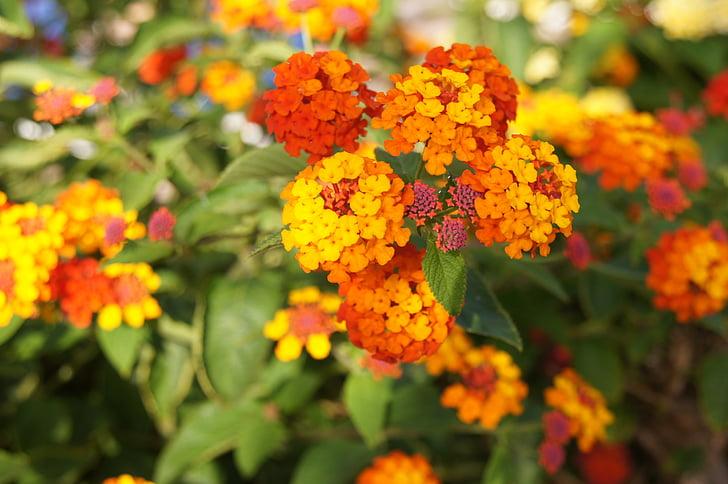 flors de taronja, taronja, flor, planta, flors, jardí