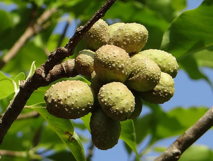 Champa, champak, Magnolia champaca, seedpods, seemned, kodagu, India
