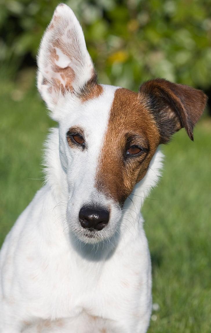 Fox terrier, Smooth fox terrier, miniatūra smooth fox terrier, suns, miniatūra, gluda, suņiem