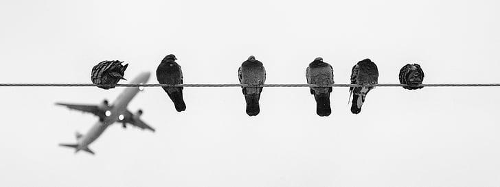 linnud, õhusõiduki, niit, tuvid, must ja valge, taevas, valgel taustal