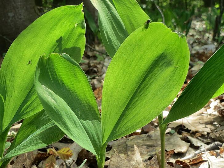 Convallaria majalis, Lily-of-the-valley, maikelluke, wildflower, Flora, botaanika, taim