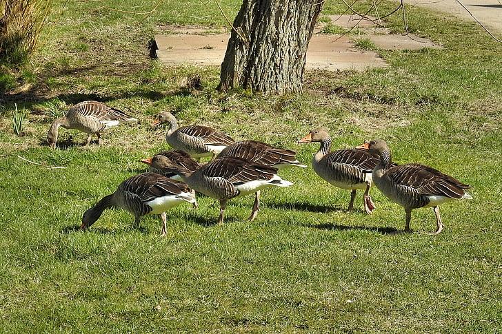 laukinių žąsų, pilkosios žąsys, žąsys, naminiai paukščiai, vandens paukščių, migruojančių paukščių, pieva