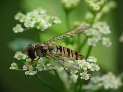 hoverfly, dill blossom, blossom, bloom, white blossom, dill