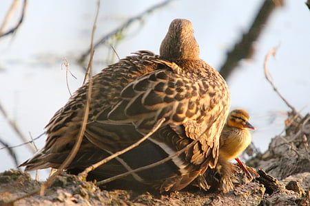 nature, water bird, duck, mallard, young animal, young