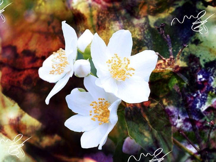 Jasmin, Mock orange, fleurs, blanc, arbuste ornemental, nature, fleur
