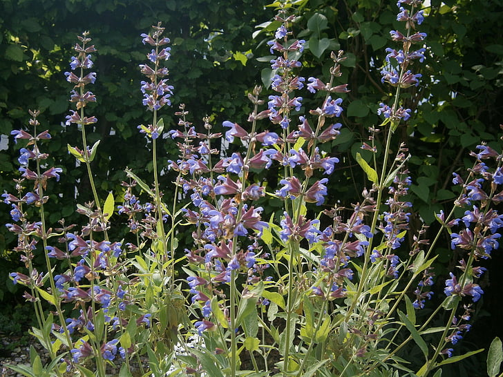 sábio, planta de sálvia, planta de jardim, jardim, planta, natureza, planta medicinal