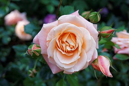planta, flor, naturaleza, flor color de rosa, rosa rosa, Bush, flor color de rosa-