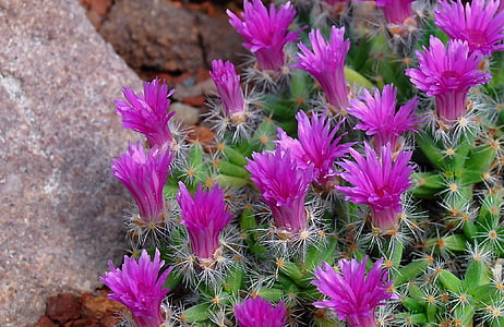 cactus, flower, cactus flower, plants
