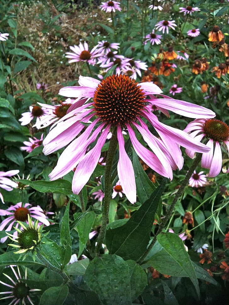 echinacea, herb, medicinal, herbal, plant, flower, herbal medicine